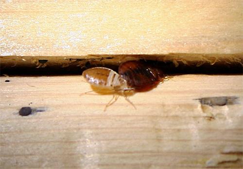 Применение инсектицидных аэрозолей и спреев позволяет уничтожить клопов даже в труднодоступных местах