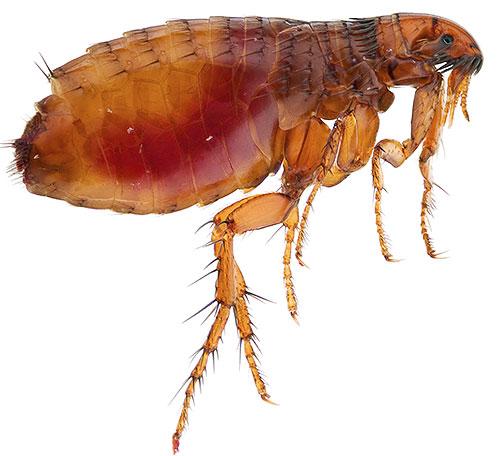 Большинство современных инсектицидов токсичны для блох и относительно безопасны для человека