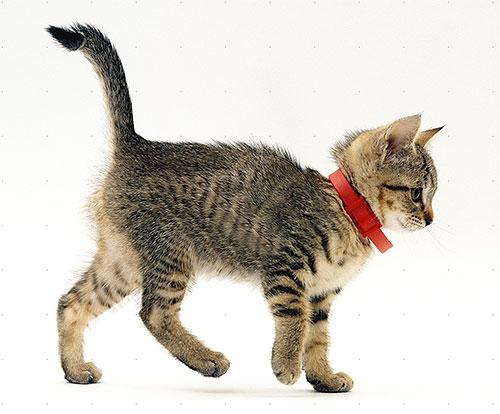 Пример инсектоакарицидного ошейника на котенке