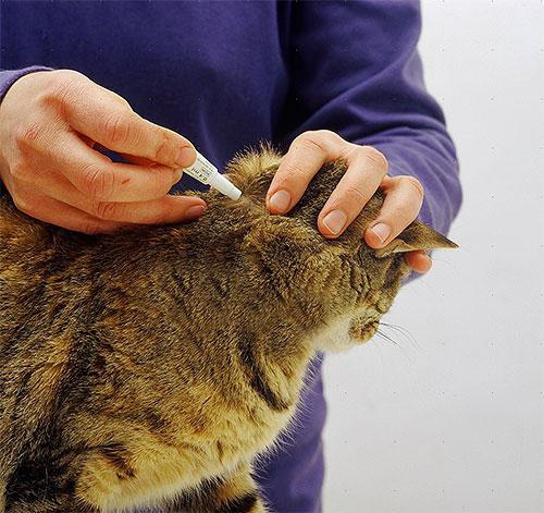 Пример нанесения капель от блох на холку кота.