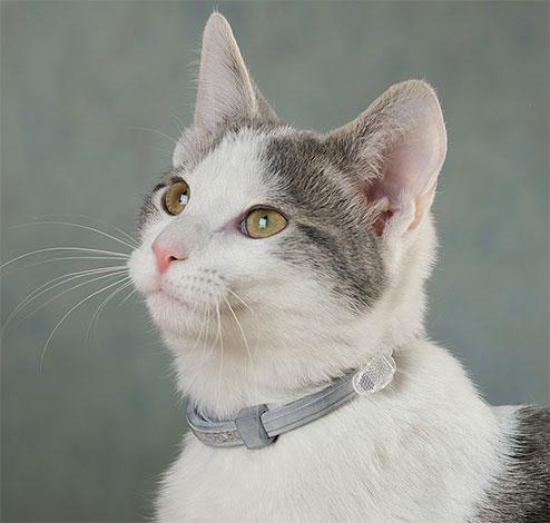 Для профилактики повторного заражения кота блохами желательно надеть на него противоблошиный ошейник.