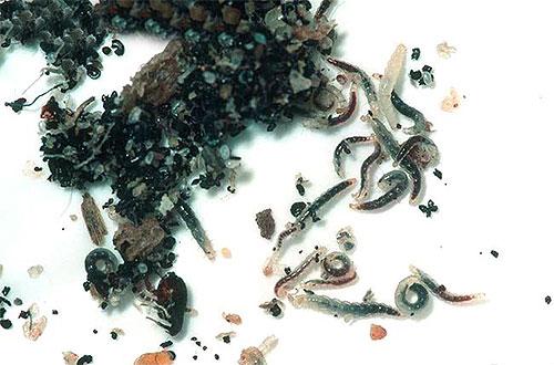 Личинки куриных блох обычно копошатся среди корма и экскрементов птиц