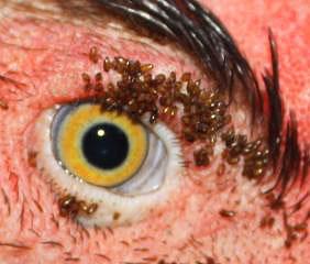 На фото - скопление куриных блох вокруг глаз птицы