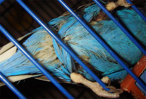 Попугай, зараженный куриными блохами, сам выщипывает у себя перья