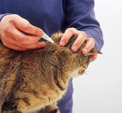 Обработка кошки каплями от блох на холку
