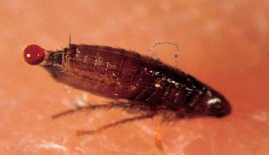 Постельные блохи могут оставлять капельки крови на белье после своих укусов