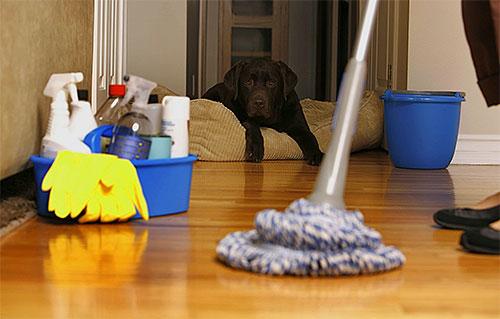 Через некоторое время после обработки квартиры от блох нужно провести тщательную влажную уборку