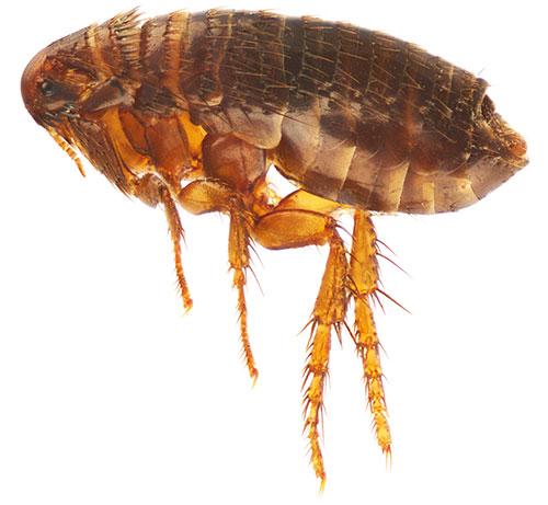 При правильной обработке питомца спрей вызывает у блох паралич, после чего насекомые довольно быстро погибают