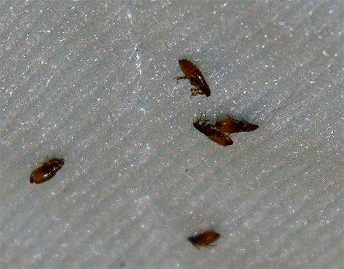 Инсектициды в составе современных спреев быстро и эффективно воздействуют на блох, не причиняя при этом вреда животному