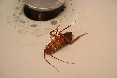 Служба дезинсекции СПб борется не только с клопами, но также и с блохами, тараканами и другими паразитами.