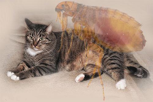 От чего появляются блохи у домашних котов