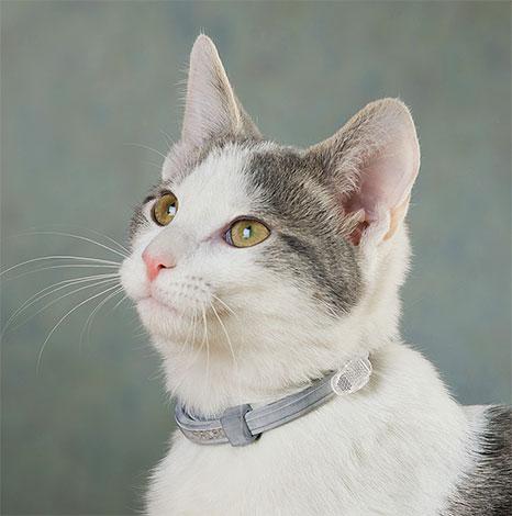 Ошейник на коте даст понять службам отлова животных, что перед ними домашний питомец.