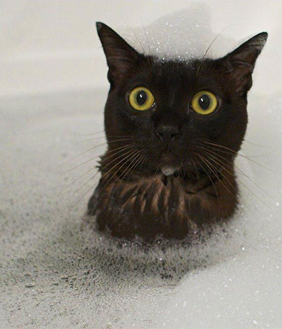 При мытье кота инсектицидным шампунем важно следить, чтобы пена не попала ему в глаза или рот