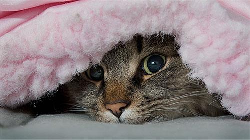 Блохи не живут постоянно на коте, часто их можно найти в кошачьей подстилке