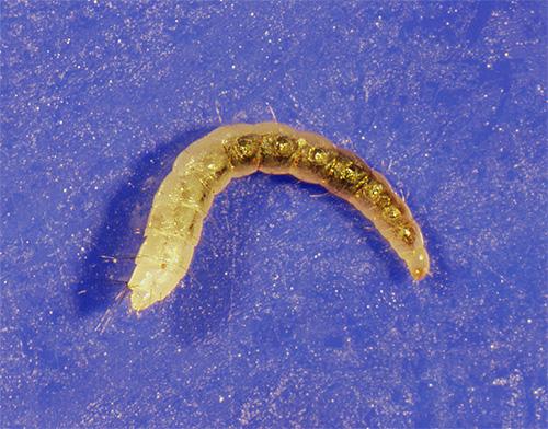 Личинки блох могут прятаться, например, за плинтусами или в ворсе ковра