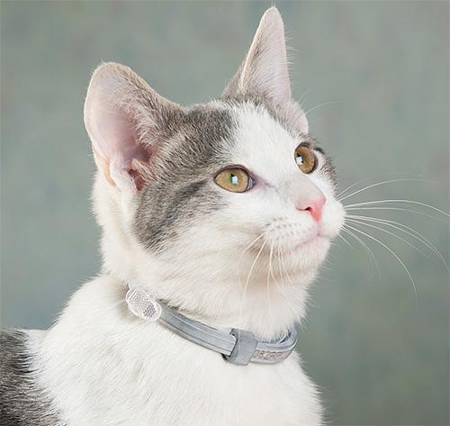 Пример инсектицидного ошейника от блох на кошке