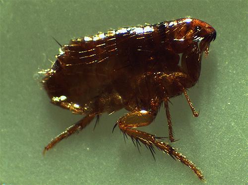 Препараты Блохнэт эффективно уничтожают не только блох, но также и других эктопаразитов домашних животных
