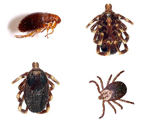 В инструкции к препаратам Блохнэт говорится, что они способны уничтожать помимо блох также клещей и власоедов
