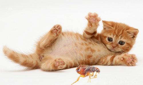 Рассмотрим методы и средства, которые помогут быстро и безопасно избавить котенка от блох