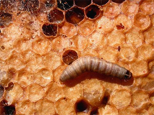 Личинка восковой моли в улье, показанная при увеличении