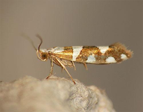 На фотографии видна бабочка моли Argyresthia brockeella