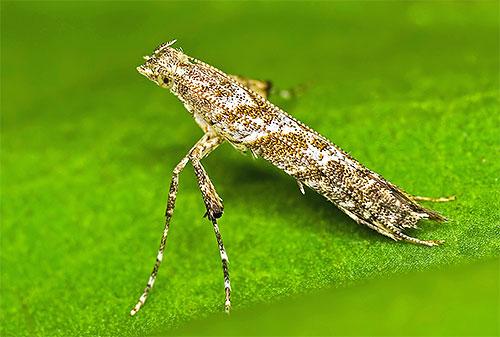 Моль-пестрянка Caloptilia hemidactylella складывает свои крылья в узкую трубочку