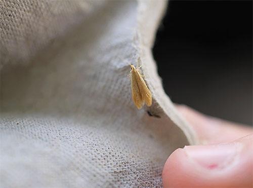 Самка платяной моли, ползающая по одежде в шкафу