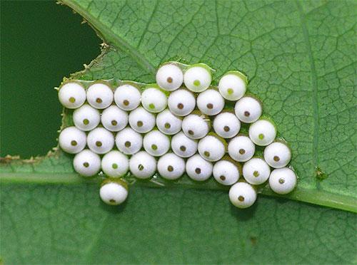 Обычно бабочки моли откладывают яйца непосредственно там, где их гусеницы будут в дальнейшем питаться