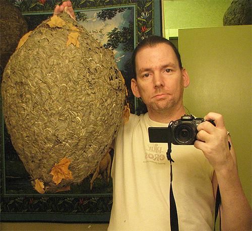 Если кто-то захочет потревожить гнездо шершней или сфотографироваться рядом с ним, насекомые непременно начнут атаковать обидчика.