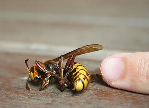 В целом в европейском регионе шершни нападают на человека реже, чем осы или пчелы