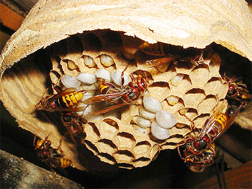 Шершни будут проявлять явную агрессию, если человек угрожает их гнезду.