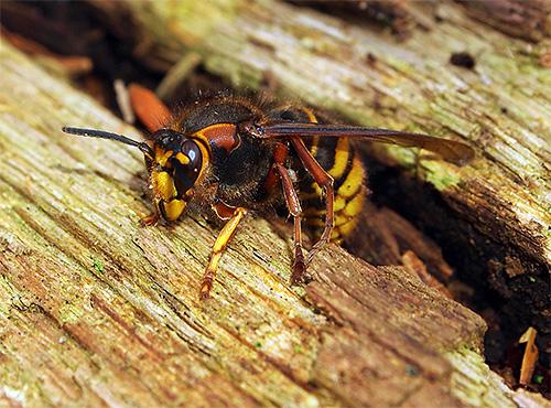 Разбираемся, где шершни предпочитают жить и что едят эти интересные, но довольно опасные насекомые.