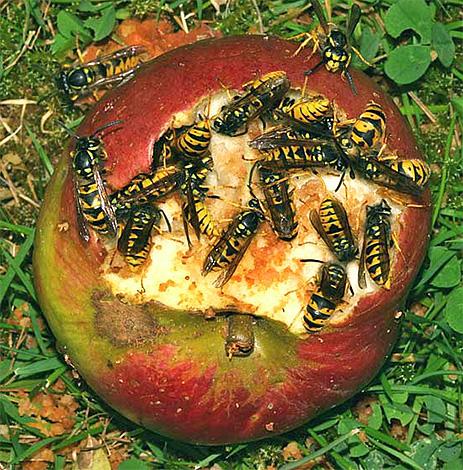Взрослые шершни способны питаться сладкими фруктами, например, гниющими яблоками