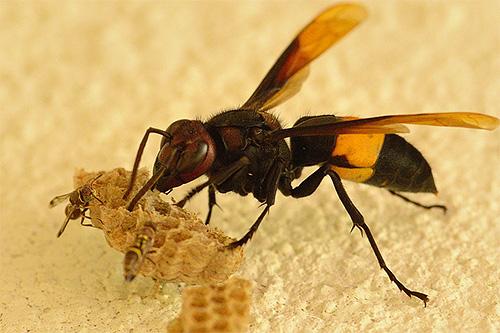 Для пасечников соседство семьи шершней опасно потому, что эти насекомые с удовольствием едят пчел и их запасы