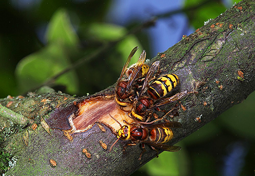 Шершни способны сильно обгладывать кору на молодых деревьях