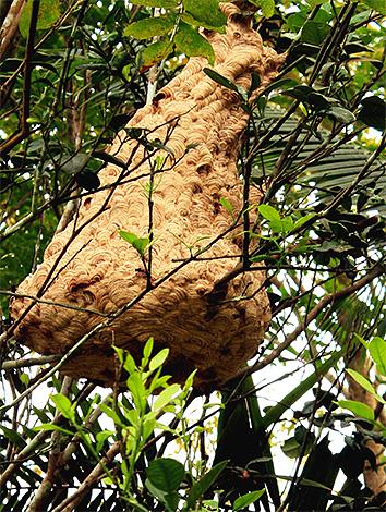 Гнезда гигантского азиатского шершня могут располагаться прямо на дереве