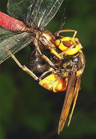 Азиатские шершни - активные хищники