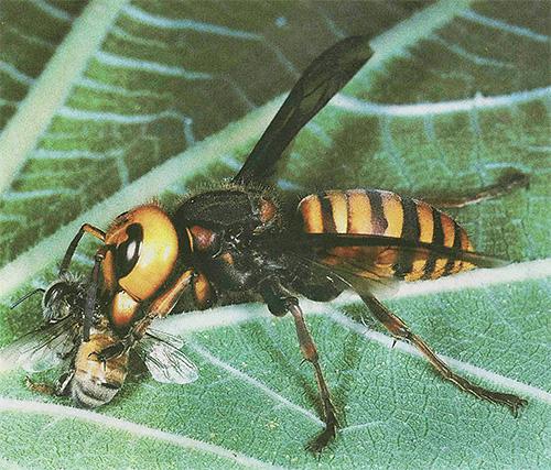 Азиатские шершни являются для пчел действительно опасными врагами