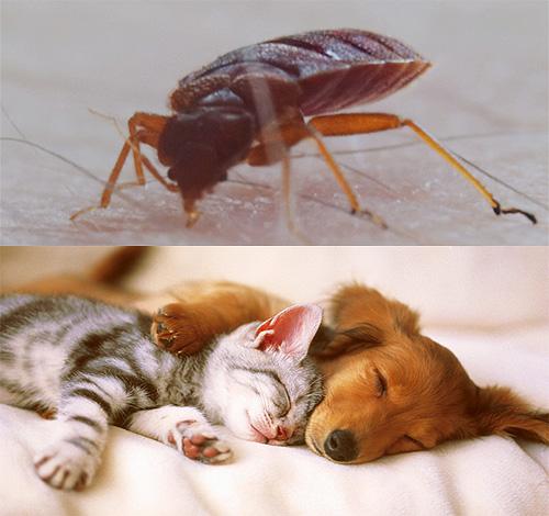 Хотя постельные клопы, как правило, не кусают животных, однако здесь есть ряд важных нюансов...