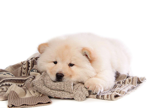 У кошек и собак слишком плотный шерстяной покров, который клопам сложно преодолеть