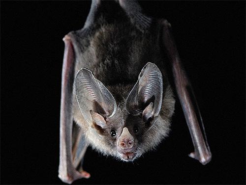 Клопы могут кусать летучих мышей, потому что на их теле есть много участков, на которых отсутствует шерсть.