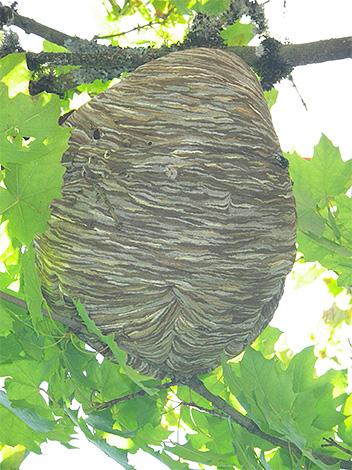 Чтобы уберечь пасеку от шершней, полезно для начала найти гнездо насекомых