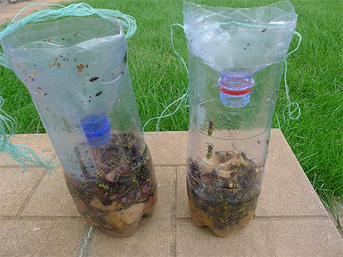 На фотографии - осы, пойманные в простую ловушку из пластиковой бутылки