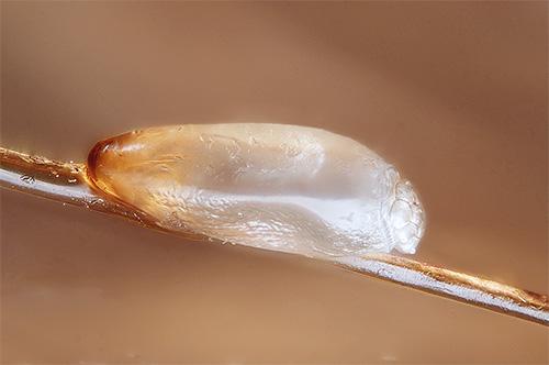 У гниды настолько плотная оболочка, что масло чайного дерева просто не сможет проникнуть сквозь нее