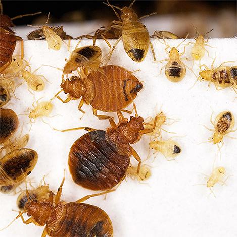 Отрава в виде дуста или инсектицидного мелка в большинсте случаев не окажет на клопов ярко выраженного эффекта