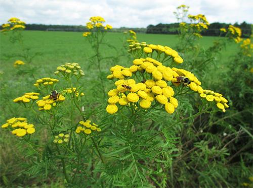 Пижма считается лекарственным растением, которое эффективно при борьбе с насекомыми.