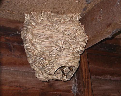 Обычно шершни не проявляют к человеку прямой агрессии, если не тревожить их около гнезда