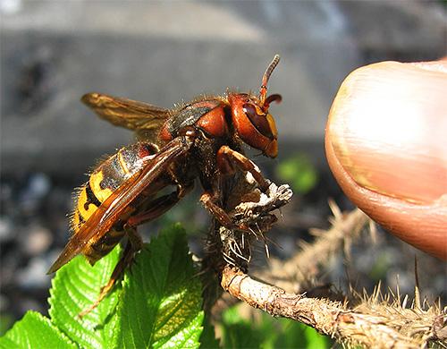 Хотя яд шершня довольно опасен, само насекомое в большинстве случаев не будет первым нападать на человека.
