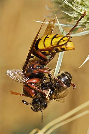 Шершни могут наносить серьезный урон пасекам, нападая на пчел и разграбляя их ульи.