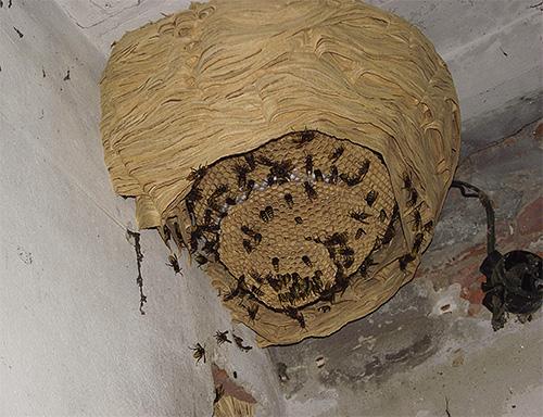 Гнездо шершней может достигать внушительных размеров.
